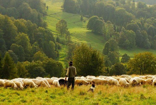 Shepherd guarding sheep